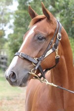 Lot 276,Foreplay x Gal Express_31-01-2014_GEN_Lauriston Thoroughbred Farm__1281