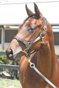 Lot 310,More Than Ready x Amarazetti_31-01-2014_GEN_Lauriston Thoroughbred Farm__2689